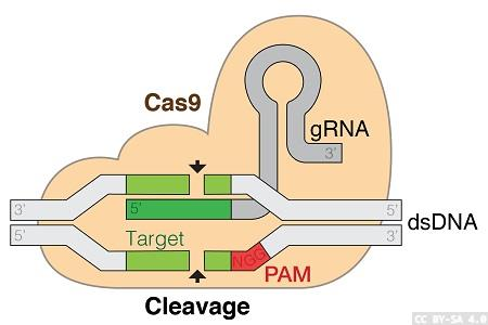 Cas9 and dCas9-VPR stable cell lines in CRISPR gene editing workflows